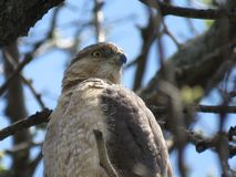 Red Tail Hawk. Perched and resting - Toronto , Ontario Royalty Free Stock Image
