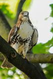 Red-tail hawk. Is sitting on the branch Royalty Free Stock Photos