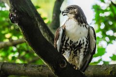 Red-tail hawk. Is sitting on the branch Stock Image