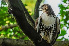 Red-tail hawk. Is sitting on the branch royalty free stock image