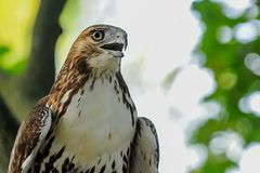 Red-tail hawk royalty free stock photos