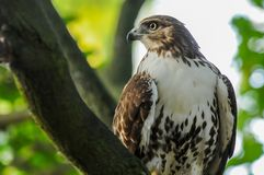 Red-tail hawk stock photo