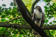 Red-tail hawk stock photos