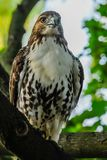 Red-tail hawk stock images