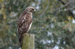 Red-tail Hawk. A red-tail hawk sitting on a post Royalty Free Stock Photos