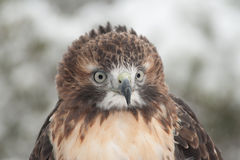 Red Tail Hawk in snow royalty free stock image