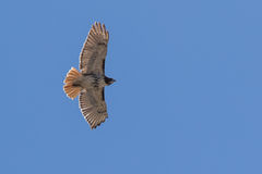 Red Tail Hawk soaring royalty free stock photos