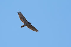 Red Tail Hawk soaring. Red Tail Hawk flying high in blue sky Stock Images