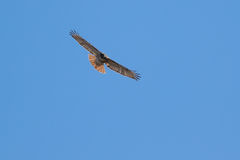 Red Tail Hawk soaring. Red Tail Hawk flying high in blue sky Royalty Free Stock Photo