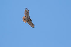 Red Tail Hawk soaring. Red Tail Hawk flying high in blue sky Stock Image