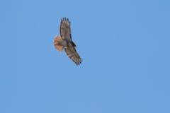 Red Tail Hawk soaring. Red Tail Hawk hunting near lake Stock Photo