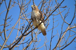 Red Tail Hawk. In tree Stock Photos