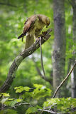 Red tail hawk in tree, eating a captured snake, Case Mountain, Manchester, Connecticut. Stock Images