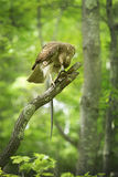 Red tail hawk in a tree, feeding on a snake Stock Photos