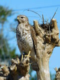 Red tail hawk in tree perching. This was taken in mid morning  on a bright sunny day in florida Stock Photography