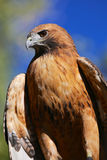 Red Tail Hawk Vertical Portrait. A red tail hawk stands on a tree branch with blue sky in the background Royalty Free Stock Photos