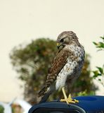 Red tail hawk. This was taken in my yard early in the morning on a bright sunny day Stock Images