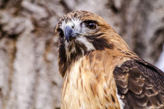 Red Tail Hawk in Winter Setting Stock Images