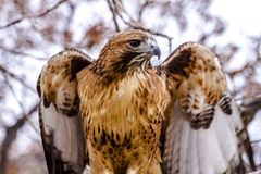Red Tail Hawk in Winter Setting Royalty Free Stock Images