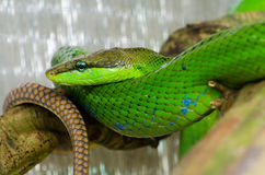 Red tail snake Stock Image