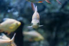 Red-tail Tinfoil Barb in aquarium Stock Image