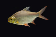 Red-tail Tinfoil Barb in the dark Royalty Free Stock Image