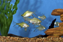 Red Tail Tinfoil Barbs  606622 Royalty Free Stock Photography