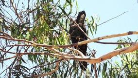 Red-tailed black cockatoo bird eating eucalyptus tree seeds