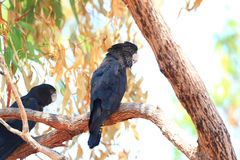 Red-tailed Black Cockatoo Stock Image