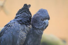 Red-tailed black cockatoo Stock Photos