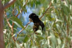 Red Tailed Black Cockatoo Hiding Amongst The Leaves stock photography