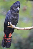 Red-tailed black cockatoo. The sitting red-tailed black cockatoo on the branch royalty free stock photography