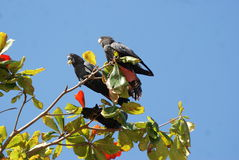 Red Tailed Black Cockatoo Stock Images