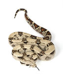 Red-tailed Boa (B. c. constrictor) stock image