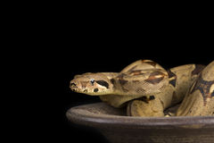 Red Tailed boa Royalty Free Stock Photo