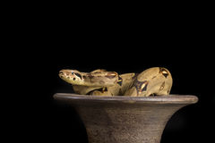 Red Tailed boa on urn stock photography