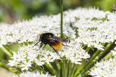 Red-Tailed-Bumble-Bee. (Bombus lapidarius) Stock Photos