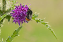 Red-Tailed Bumblebee Stock Image