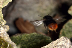 Red-tailed bumblebee (Bombus lapidarius) in flight entering nest Royalty Free Stock Images