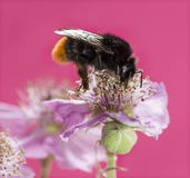 Red-tailed bumblebee, Bombus lapidarius Royalty Free Stock Photo