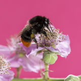 Red-tailed bumblebee, Bombus lapidarius Royalty Free Stock Photos
