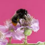 Red-tailed bumblebee, Bombus lapidarius royalty free stock photos