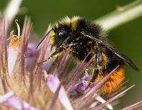 Red-tailed bumblebee (Bombus lapidarius) male nectaring on thistle Stock Photo