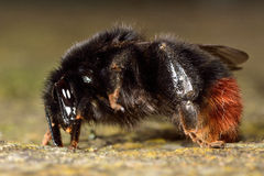 Red-tailed bumblebee (Bombus lapidarius) in profile. Close up of Queen bee in profile, in the family Apidae royalty free stock image