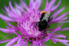 Red tailed bumblebee Stock Photography
