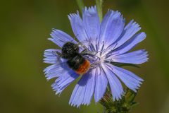 Red-tailed bumblebee on a single sky blue flower of common chicory stock images