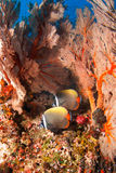 Red tailed butterfly fish with seafan. Pair of red tailed butterfly fish swimming inside seafan  in Andaman Thailand Royalty Free Stock Photo