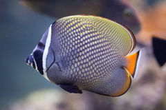 Red-tailed butterflyfish (Chaetodon collare) Royalty Free Stock Photography