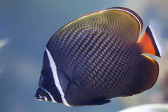 Red-tailed butterflyfish Chaetodon collare Royalty Free Stock Photos