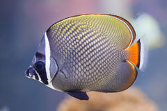 Red-tailed butterflyfish Chaetodon collare Stock Photo